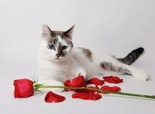 说谎在一个优美的姿势的白色背景的白色蓬松蓝眼睛的猫与一朵红色玫瑰和瓣 免版税库存照片