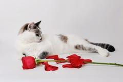 说谎在一个优美的姿势的白色背景的白色蓬松蓝眼睛的猫与一朵红色玫瑰和瓣 库存图片