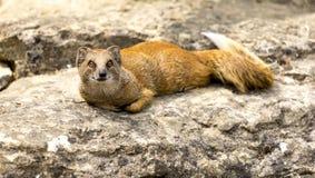 说谎在一个岩石的猫鼬在动物园里 库存图片