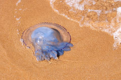 说谎在一个沙滩的水母 库存图片
