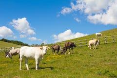 说谎在一个绿色象草的领域的不同的颜色母牛  库存照片