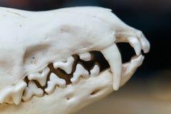说谎在一张木桌上的头骨狐狸 库存图片