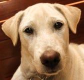 说谎在一把木椅子的白色狗 库存图片