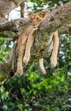 说谎在一棵大树的雌狮 特写镜头 乌干达 5 2009年非洲舞蹈东部maasai行军执行的坦桑尼亚村庄战士 库存图片
