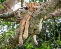 说谎在一棵大树的雌狮 特写镜头 乌干达 5 2009年非洲舞蹈东部maasai行军执行的坦桑尼亚村庄战士 图库摄影