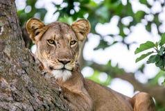 说谎在一棵大树的雌狮 特写镜头 乌干达 5 2009年非洲舞蹈东部maasai行军执行的坦桑尼亚村庄战士 免版税库存图片