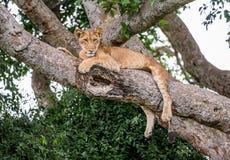 说谎在一棵大树的雌狮 特写镜头 乌干达 5 2009年非洲舞蹈东部maasai行军执行的坦桑尼亚村庄战士 库存照片