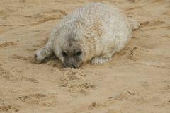 说谎在与它的鼻子的海滩的一只最近出生的灰色封印Halichoerus grypus小狗在沙子,等待它的妈咪返回 库存照片