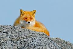 说谎在与蓝天的捕鱼网的Fox 镍耐热铜,狐狸狐狸,美丽的动物在自然栖所,平衡与好的太阳 免版税库存照片