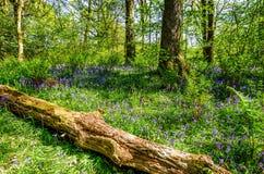 说谎在会开蓝色钟形花的草中地毯的一棵下落的树  库存照片