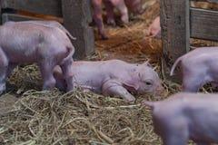 说谎在入口旁边的新出生的小猪对稳定的补救 免版税库存照片