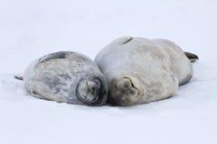 说谎在冰的女性和大小狗Weddell封印在安塔尔 免版税库存照片