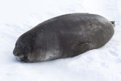 说谎在冰的小狗南部的海象 图库摄影