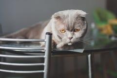 说谎在厨房用桌上的懒惰猫 库存照片