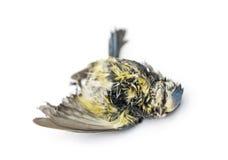 说谎在后面的死的蓝冠山雀,在分解状态  库存照片