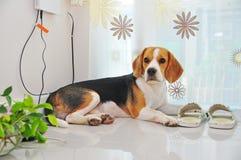 说谎在地板上的小猎犬狗在屋子里 免版税库存照片
