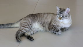说谎在地板上的泰国轰烈美丽的猫 股票视频