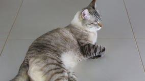 说谎在地板上的泰国轰烈美丽的猫 股票录像