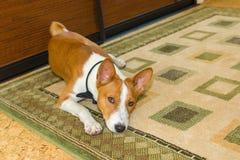 说谎在地板地毯的Basenji狗 库存图片