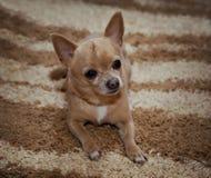 说谎在地毯的逗人喜爱的奇瓦瓦狗 免版税图库摄影
