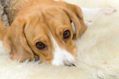 说谎在地毯的逗人喜爱的小猎犬狗 免版税库存图片