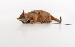 说谎在地面上和使用与玩具的好奇和恼怒的埃塞俄比亚猫和拿着它作为婴孩 背景查出的白色 免版税库存照片