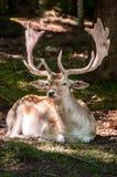 说谎在地面上的公小鹿 免版税库存图片