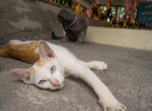 说谎在地面上的小猫 免版税库存图片