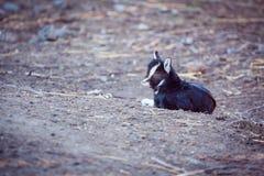 说谎在地面上的小的黑山羊 库存照片
