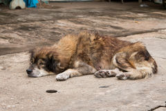 说谎在地面上的狗 库存照片