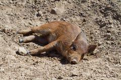 说谎在地面上的猪 库存照片