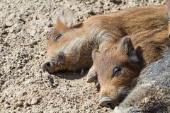 说谎在地面上的猪 免版税库存图片