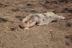说谎在地面上的猪 库存图片