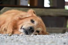 说谎在地面上的金毛猎犬狗冷的看的照相机 免版税库存图片