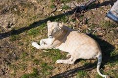 说谎在地面的白色雌狮 库存图片
