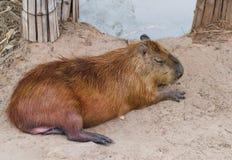 说谎在地面的水豚 免版税库存图片
