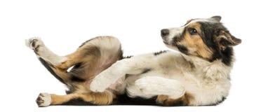 说谎在它后面的博德牧羊犬的侧视图,服从 免版税库存图片