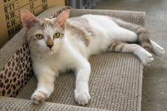 说谎在它的坐垫scratcher和看好奇地往照相机的一只幼小白色猫 免版税库存图片