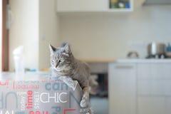 说谎在室内桌上的家猫 图库摄影