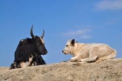 黑说谎在小山的dzo和白色小牛 免版税库存图片