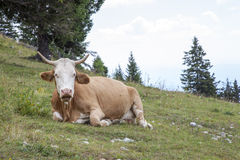 说谎在山牧场地的母牛 库存图片