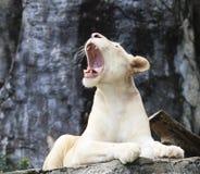 说谎在岩石峭壁和吼声的母白色狮子 库存照片