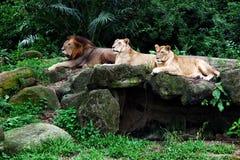 说谎在岩石的三头狮子 库存图片