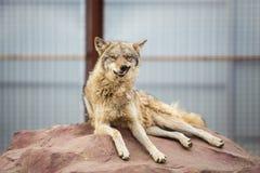 说谎在岩石的灰狼 免版税库存图片