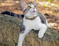 说谎在岩石的灰色和白色猫 库存照片