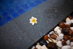 说谎在岩石的赤素馨花 库存照片