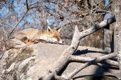 说谎在岩石的Fox休息在热太阳12下 库存图片