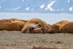说谎在岸的海象在斯瓦尔巴特群岛,挪威 免版税库存图片