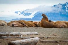 说谎在岸的海象在斯瓦尔巴特群岛,挪威 免版税库存照片