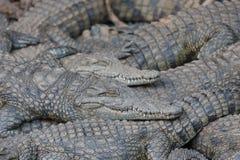 说谎在彼此顶部的鳄鱼 免版税库存照片